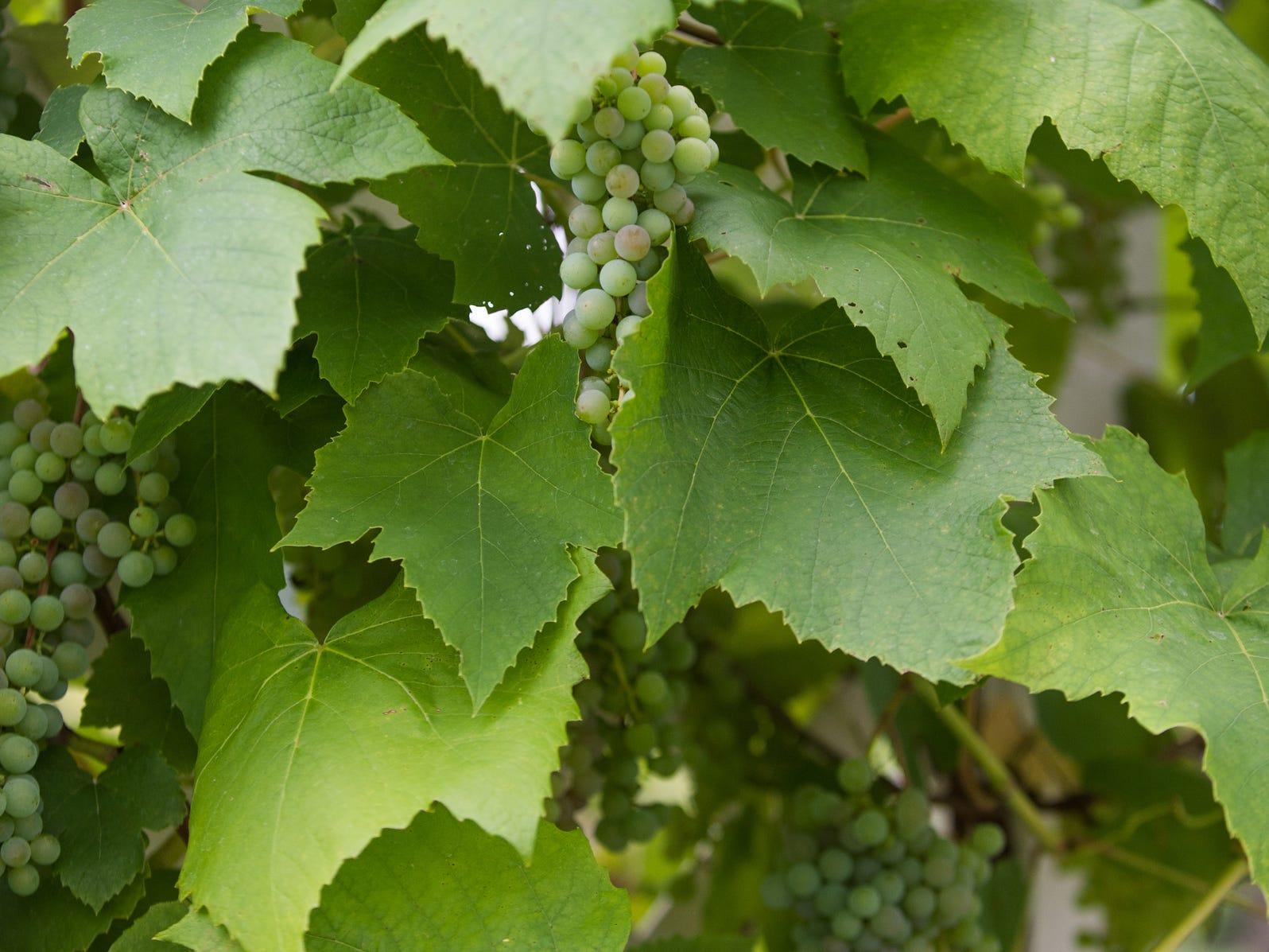 Grapes grow near the outdoor gazebo.