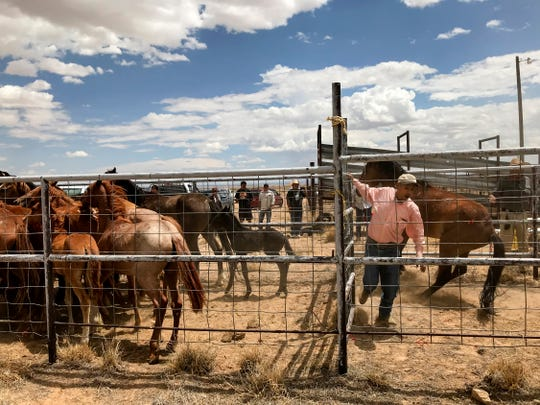 Larry Tsosie, right, a district grazing chairman with the Navajo Nation Department of Agriculture, quickly shuts a gate as he helps process surrendered horses Friday at the auction yard in Naschitti.