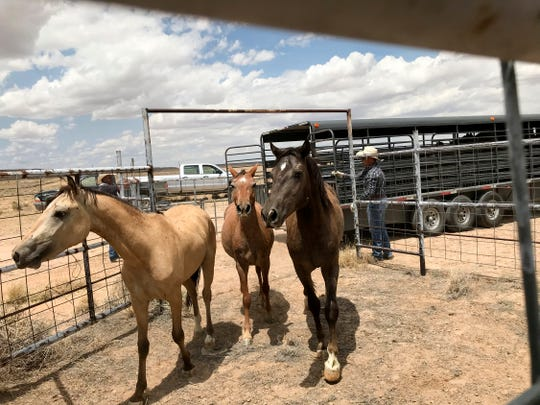 Surrendered horses are released into a holding pen for processing Friday at the auction yard in Naschitti.