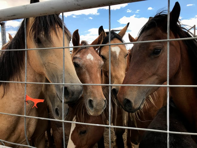 Surrendered horses wait in a holding pen to be processed Friday at the auction yard in Naschitti.