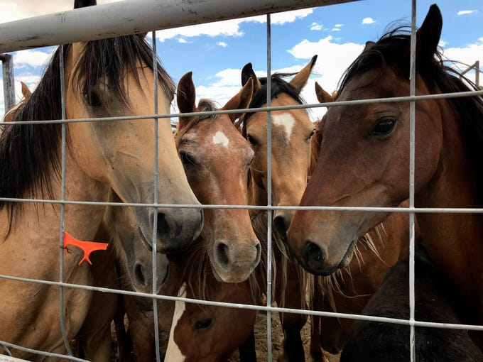 Surrendered horses wait in a holding pen to be processed, Friday, August 3, 2018 at the auction yard in Naschitti.