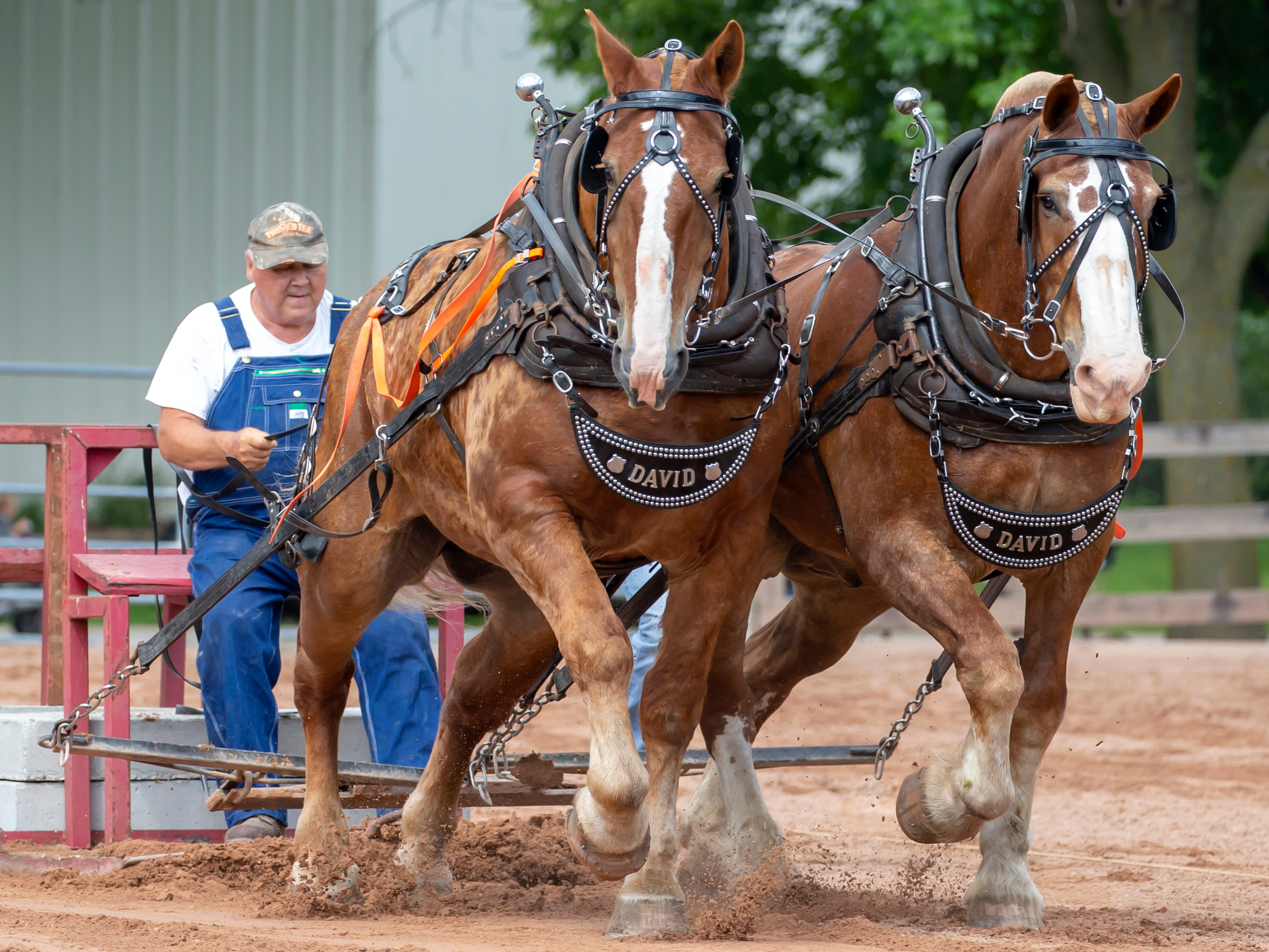 A team of work horses compete in the Clair Coats Memorial Horse Pull during the Winnebago County Fair on Friday, Aug. 3, 2018.