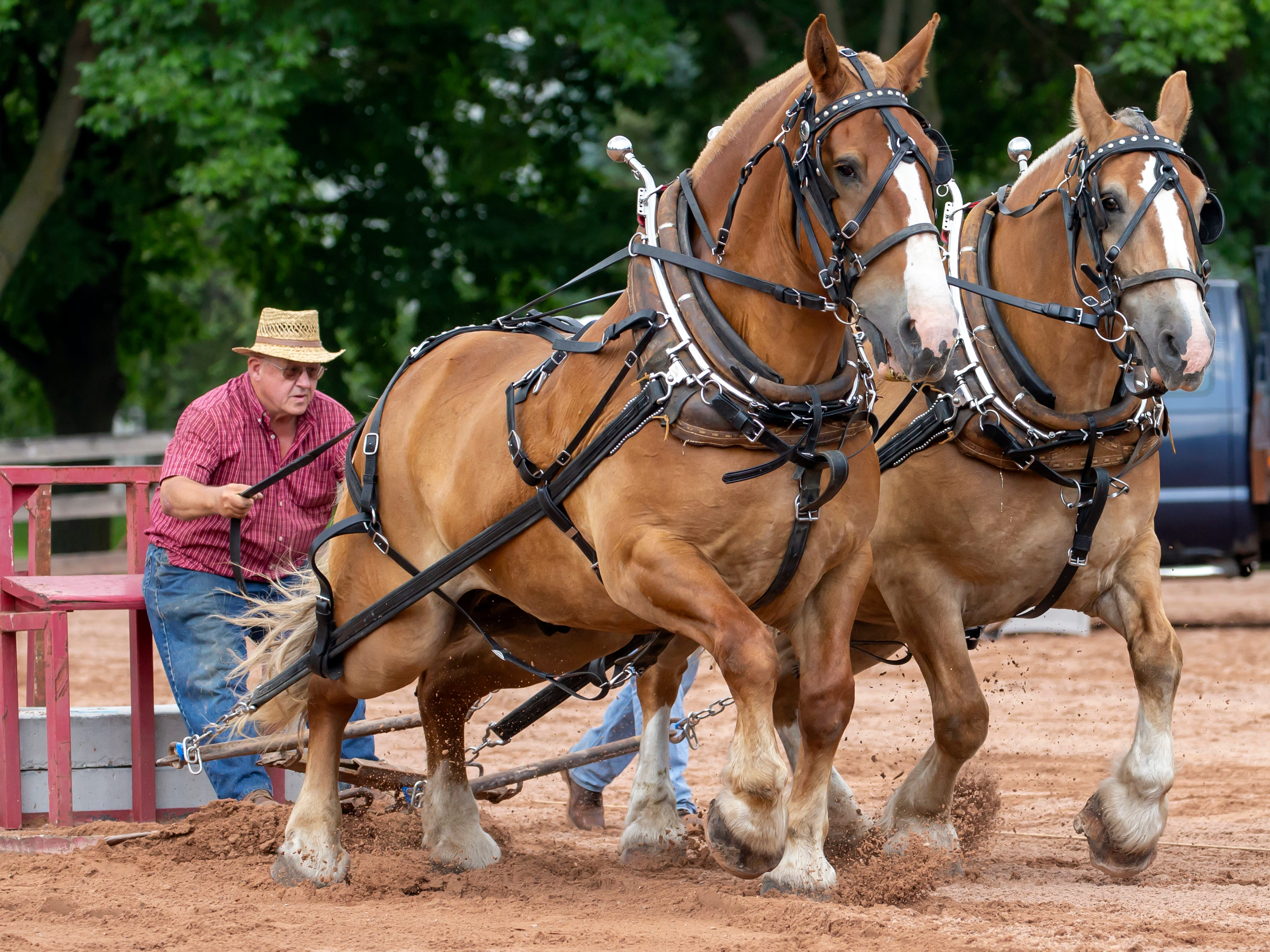A team of work horses competes in the Clair Coats Memorial Horse Pull during the Winnebago County Fair on Friday, Aug. 3, 2018.