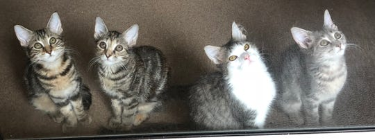 These siblings are Myrtle, Miami, Boca Raton and Byron Bay. They have another sibling, Honolulu who wouldn't get off the cat bed for the picture. These 3-month-old babies have expressive eyes and gorgeous coats and will be amazing friends for any lucky human!