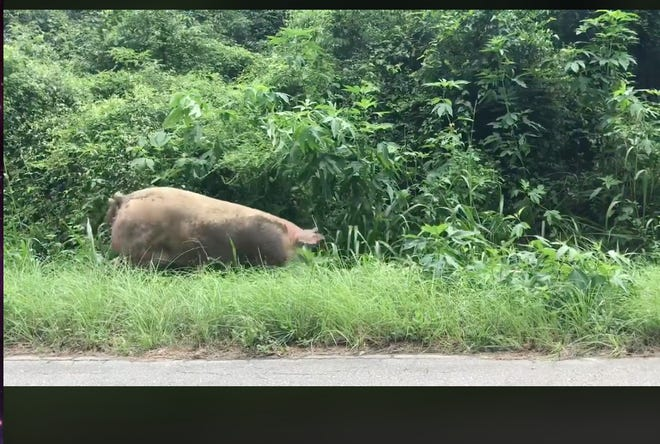 A screenshot from a video of a pig and piglets on a stretch of street off Crump Road