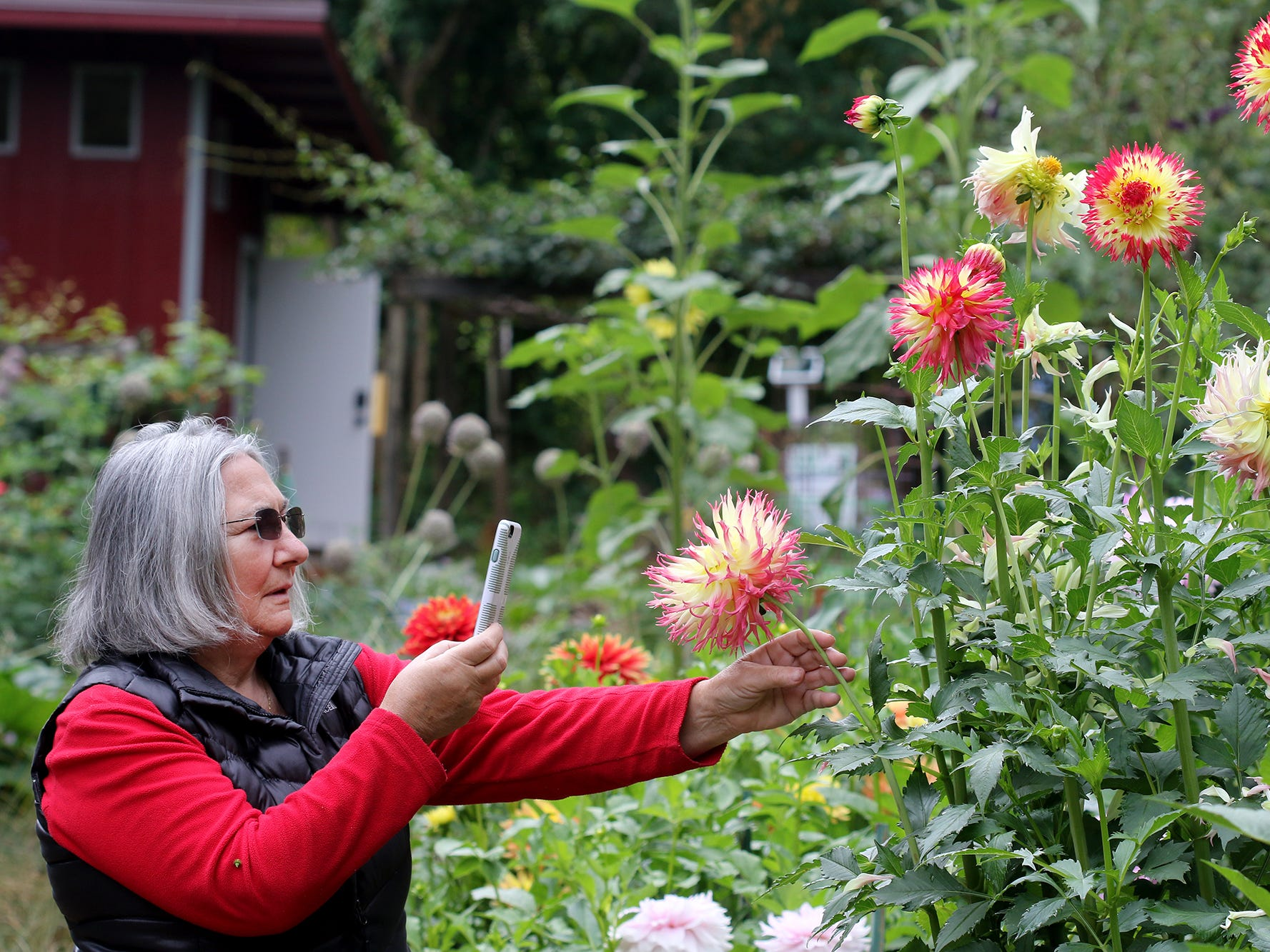 Lola Hubbell, of Bremerton, takes photos of the dahlias at Anna Smith Garden.