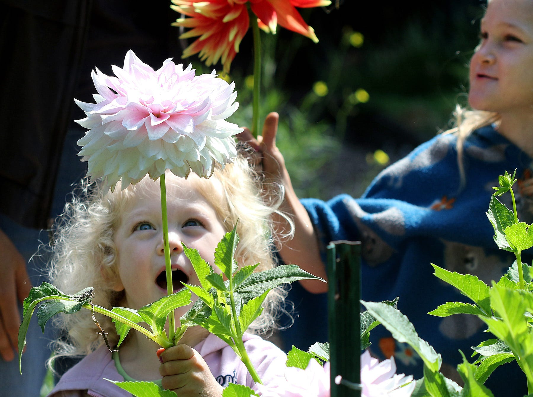 Emily Moss, 3, is amazed to hold a big dahlia at Anna Smith Garden on Saturday, August 4, 2018.