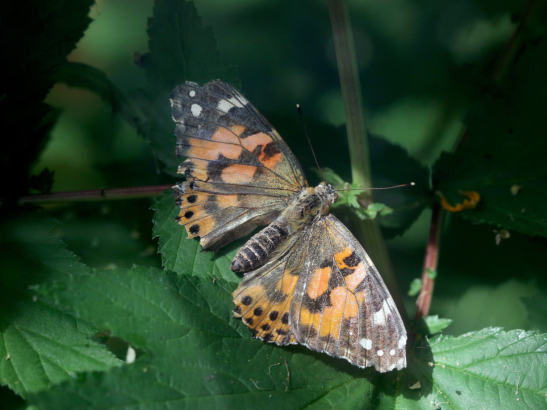 A painted lady butterfly sits on a plant at Anna Smith Garden on Saturday ,August 4, 2018.