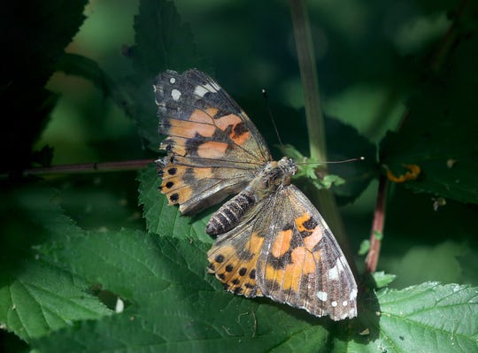 A painted lady butterfly sits on a plant at Anna Smith Garden in Washington state.
