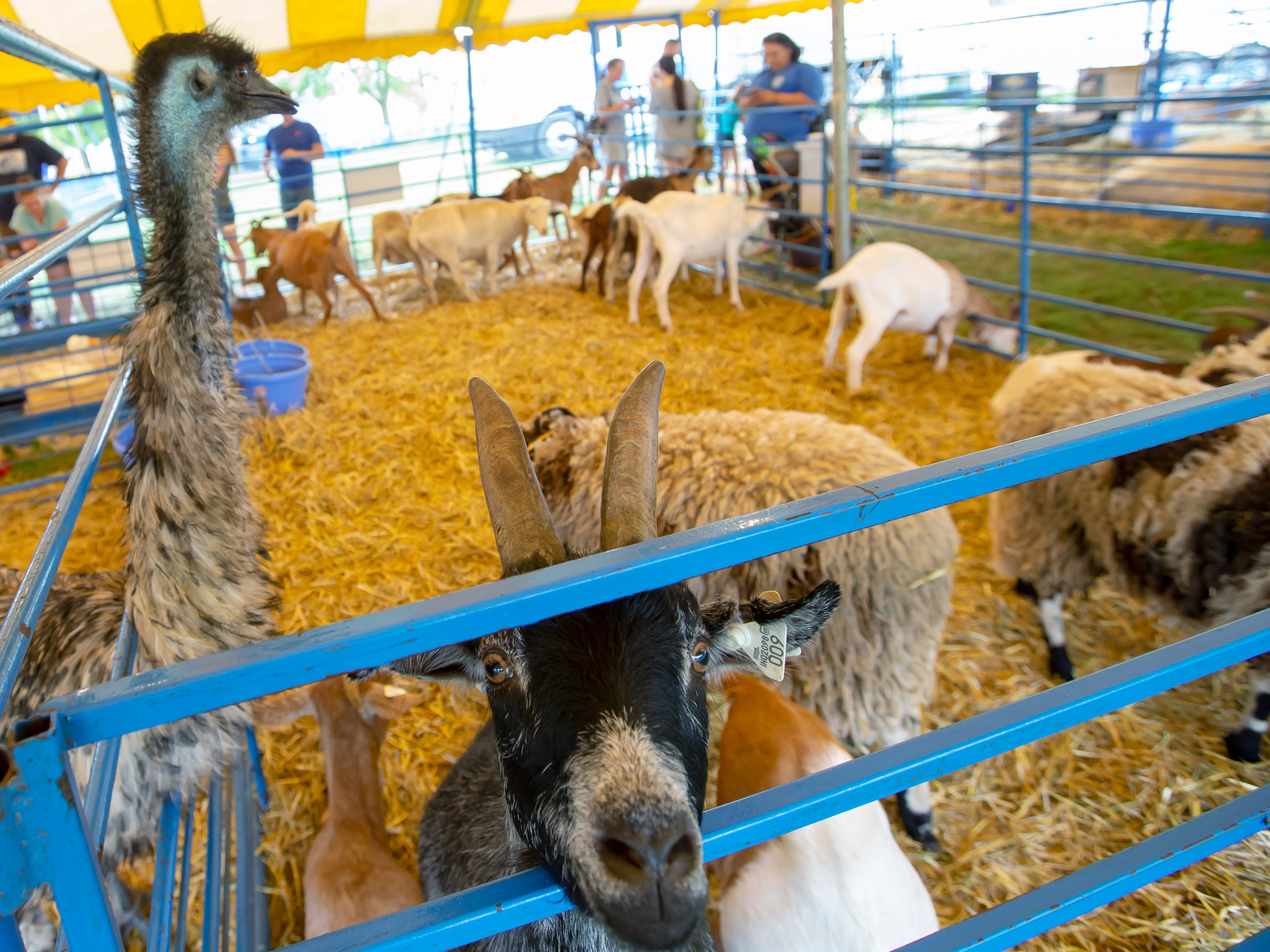 Animals in the petting zoo are looking for the treats from people visiting during the Winnebago County Fair on Saturday, Aug. 4, 2018.