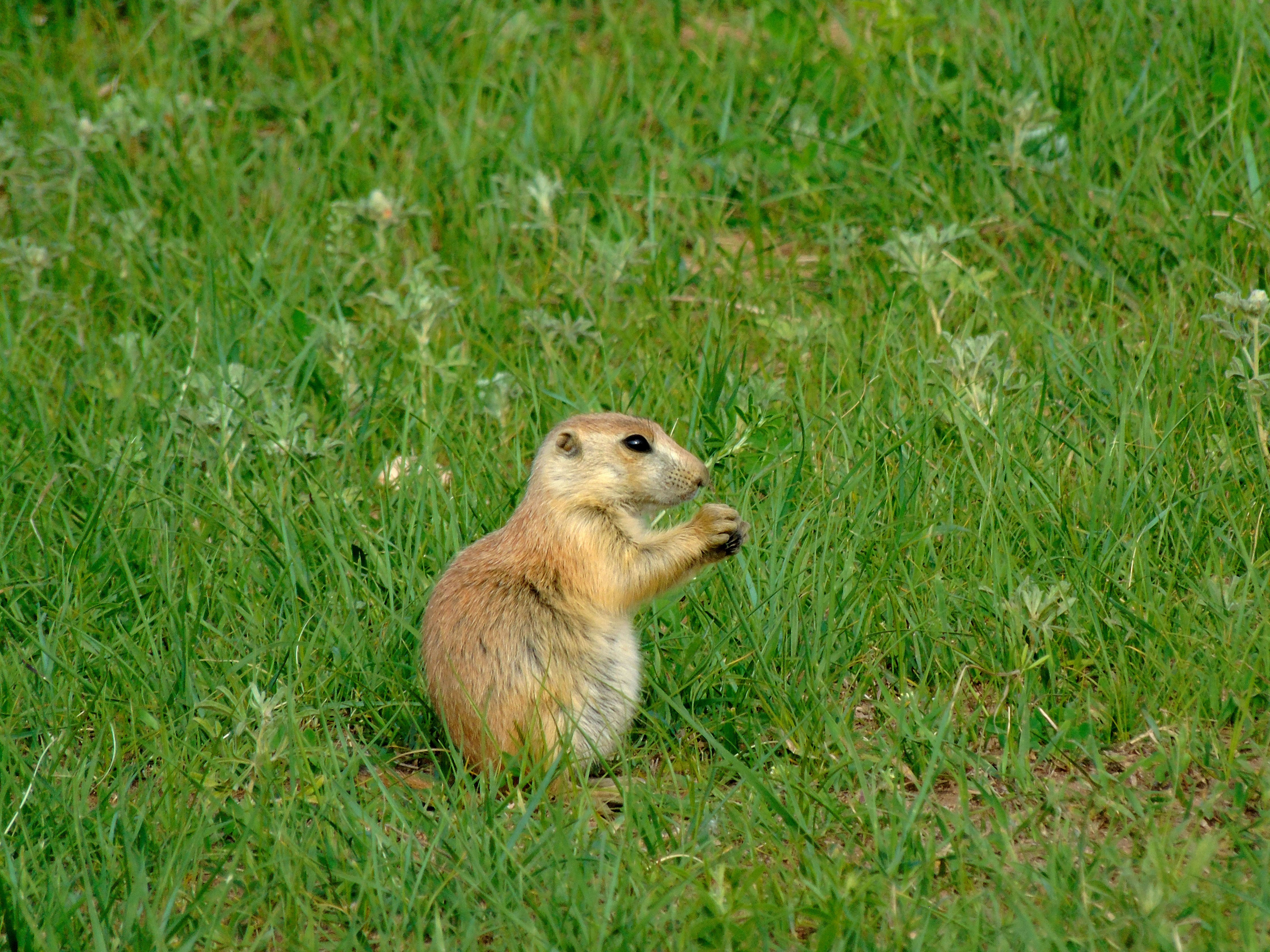 Custer State Park in the Black Hills of South Dakota is famous for its bison herds but the prairie dogs put on a good show, too.
