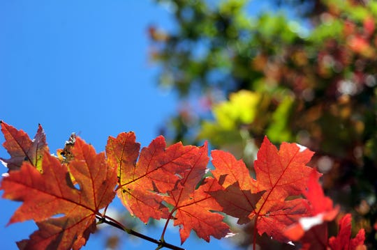 Fall leaves change color in Knoxville on Thursday, Oct. 10, 2013.