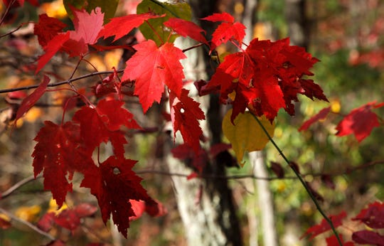 Maples display a red hue as fall settles in along the Rich Mountain Loop Trail in the Great Smoky Mountains National Park near Cades Cove on Oct. 26, 2011.