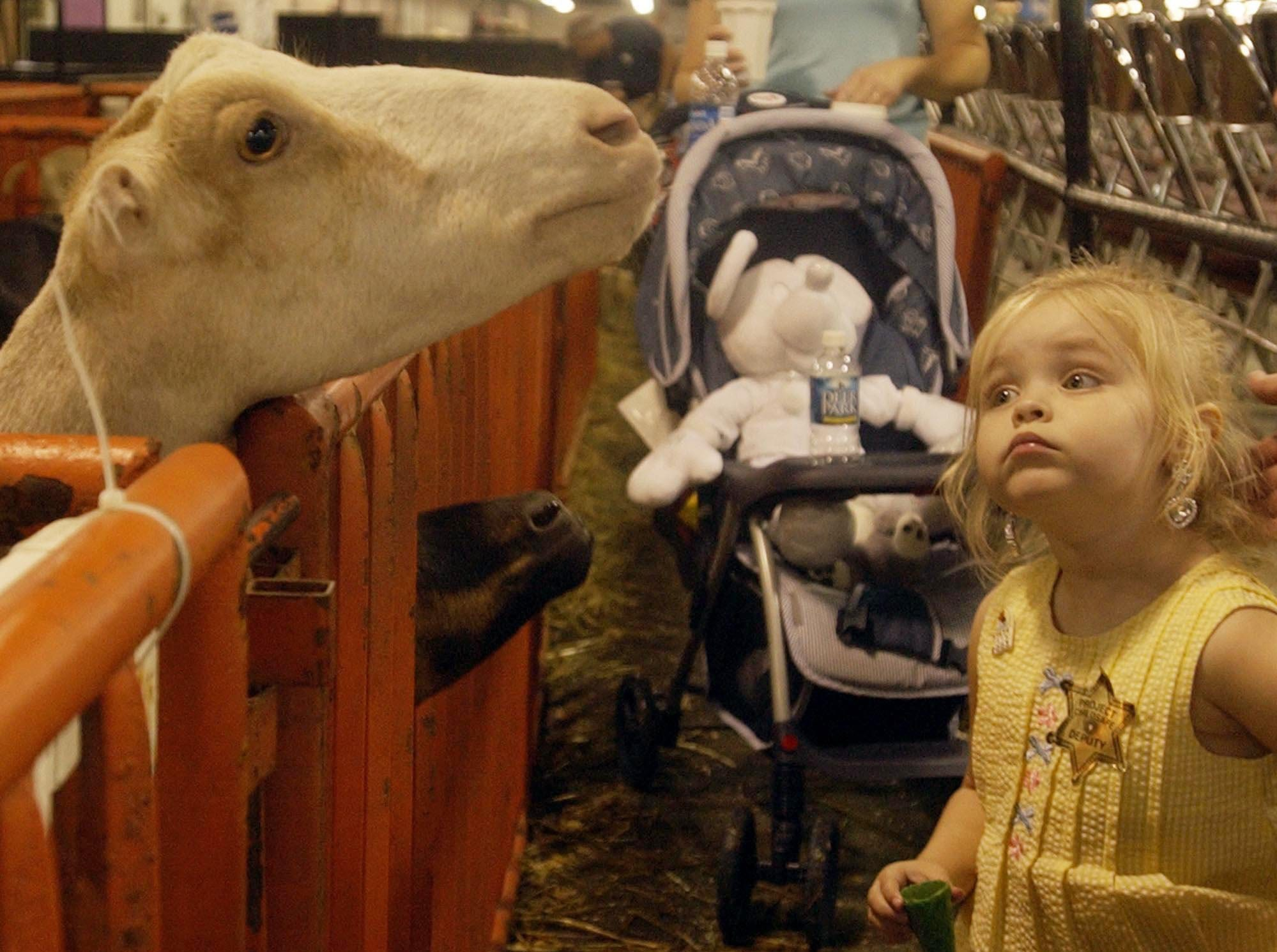 Isabelle Langford (cq) 4yrs. old from Floyd Knobs, In. looks at the (Irvin Kinney's goats) Alpine goats in Broadbent Arena at the Kentucky State Fair in Louisville, Ky.-