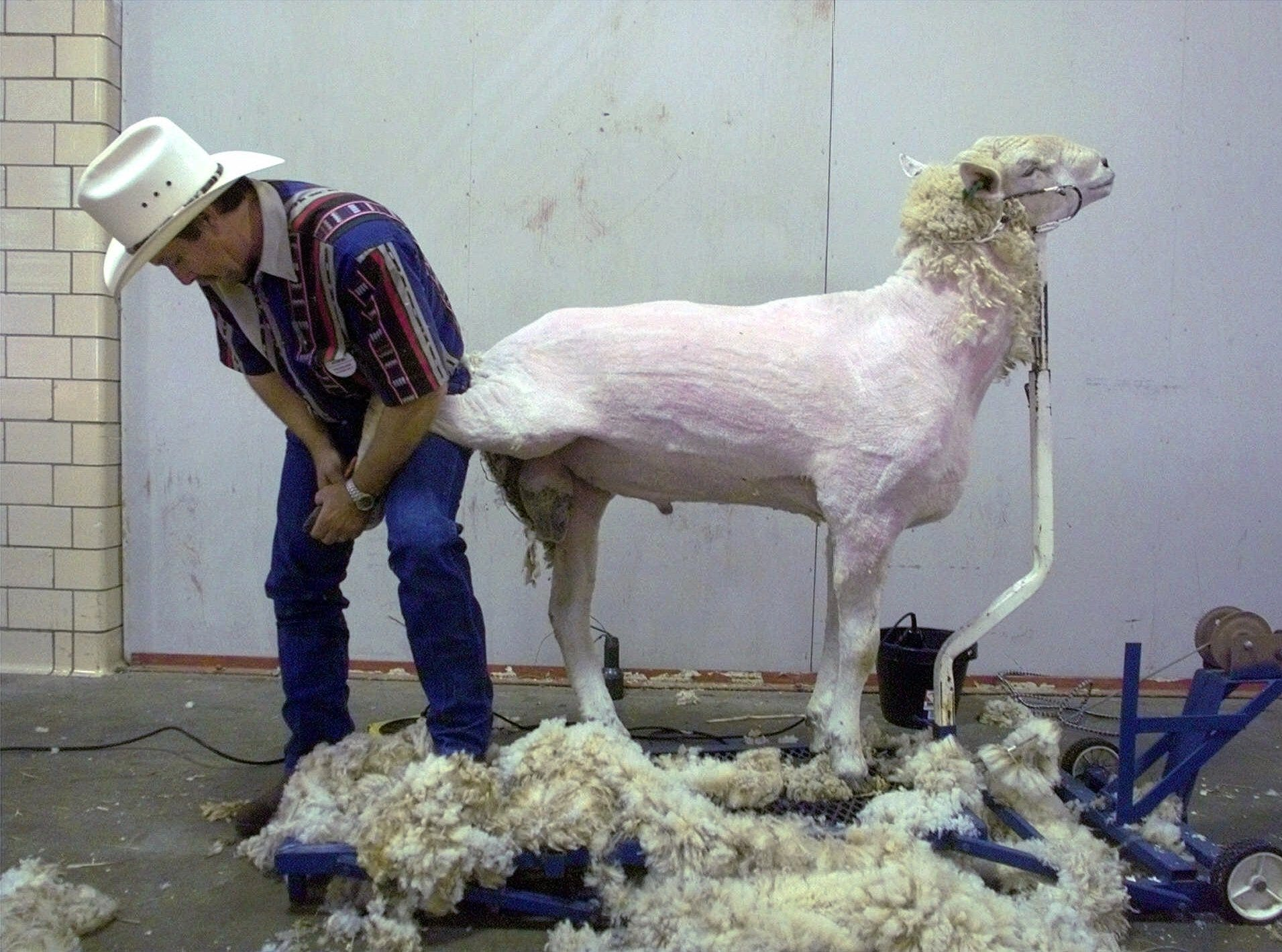 Most of his wool already sheared and lying on the floor around him, a ram sheep stands patiently as Ron Johnson of Gallatin, Tenn., trims his feet at the Kentucky State Fair Friday, Aug. 27, 1999, in Louisville, Ky.