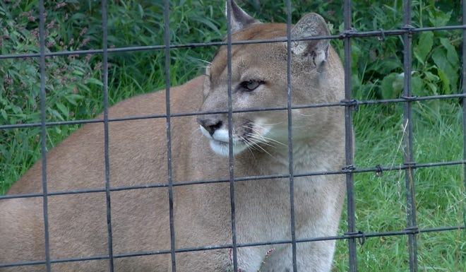 Rocky, a mountain lion at the East Coast Exotic Animal Rescue.