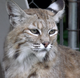 Pa. man recovering after being bit by rabid bobcat that was hiding under his house