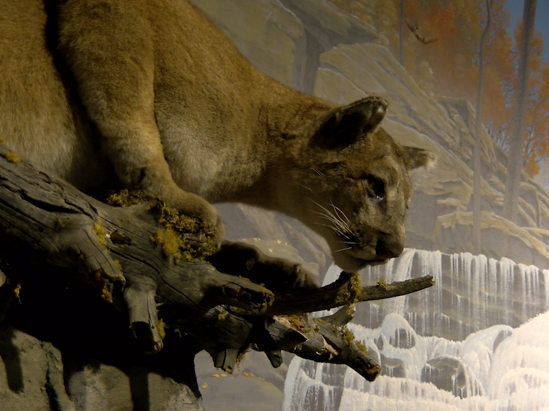 A mountain lion display at the Oakes Museum in Mechanicsburg shows a mountain lion when it's about to attack,