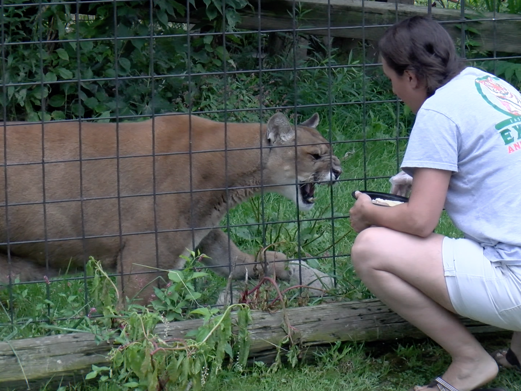 Brandi Luther feeds a mountain lion at the East Coast Exotic Animal Rescue.