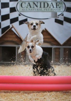 Dogs fly over the first jump as they compete during Sunday's FIDO 500 Mini Dog Races at the Ventura County Fair. Dogs raced in three different heats with the smaller dogs going first.