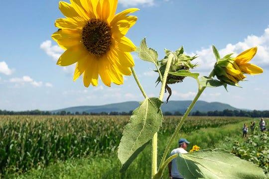 Barton Orchards Sunflower Festival isAug. 17-18