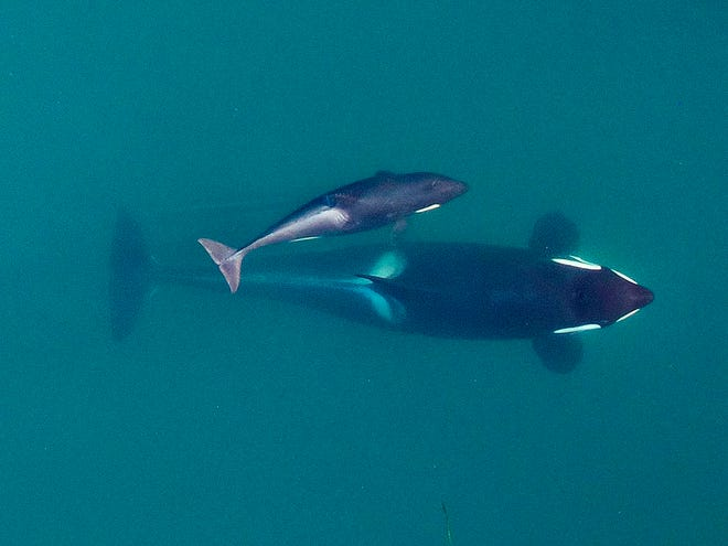 This September 2015 photo provided by NOAA Fisheries shows a aerial view of adult female Southern Resident killer whale (J16) swims with her calf (J50). Federal officials are weighing options to save an emaciated endangered orca that includes feeding it live salmon dosed with medicine. Biologists are worried about the survival of a 4-year-old orca known as J-50, a member of a dwindling population of whales that spend time in Pacific Northwest waters