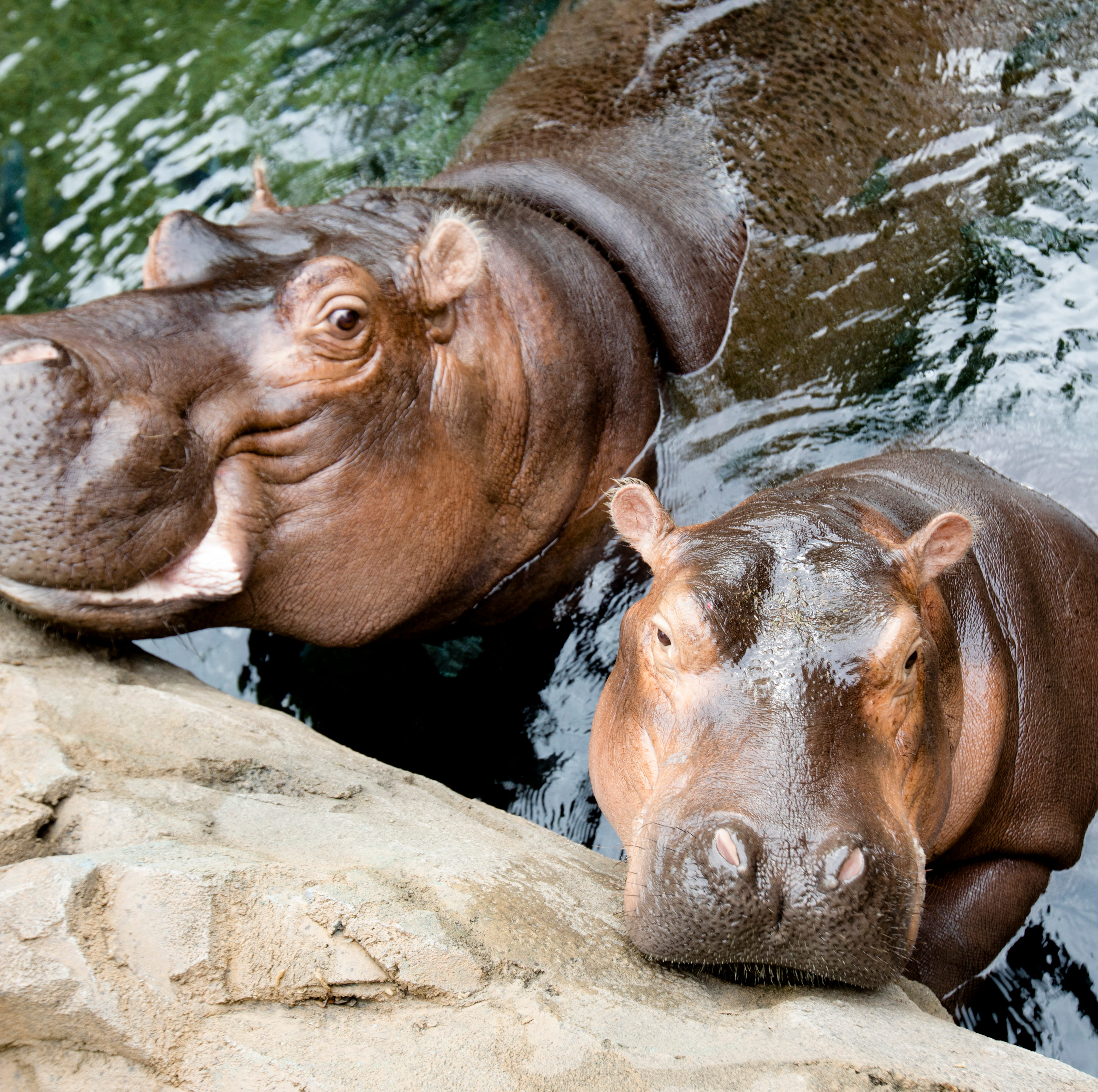 Chelsea Clinton proclaims love for 'celebrity crush' Fiona the hippo