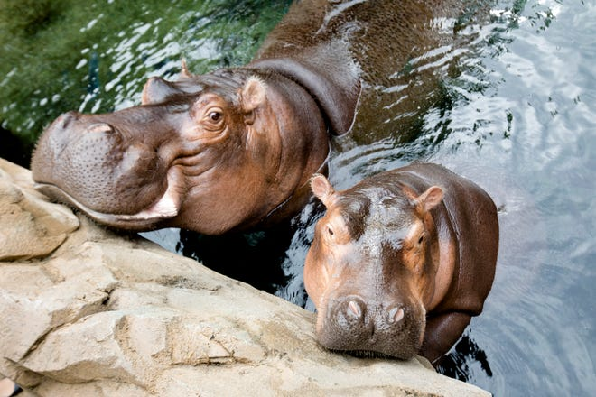 "Fiona swims with her mother, Bibi, on the day of her book opening ""Fiona the Hippo"" Tuesday, Aug. 7, 2018 at the Cincinnati Zoo."
