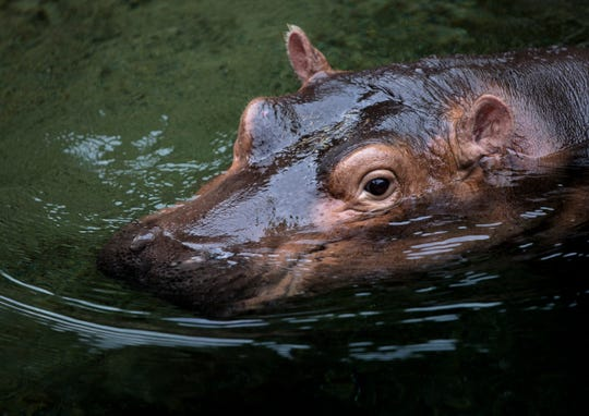 "Fiona swims on the day of her book opening ""Fiona the Hippo"" Tuesday, Aug. 7, 2018 at the Cincinnati Zoo."
