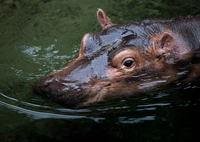 """Fiona swims on the day of her book opening """"Fiona the Hippo"""" Tuesday, Aug. 7, 2018 at the Cincinnati Zoo."""