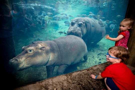 """Children watch as Fiona swims with her mother, Bibi, on the day of her book opening """"Fiona the Hippo"""" Tuesday, Aug. 7, 2018 at the Cincinnati Zoo."""