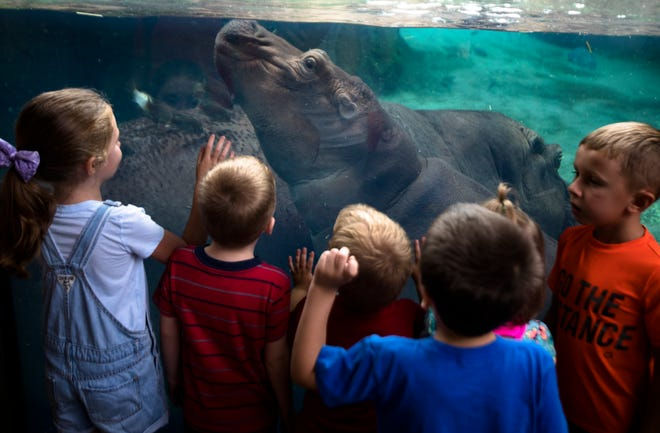 "Children watch as Fiona swims with her mother, Bibi, on the day her of her book opening ""Fiona the Hippo"" Tuesday, Aug. 7, 2018 at the Cincinnati Zoo."