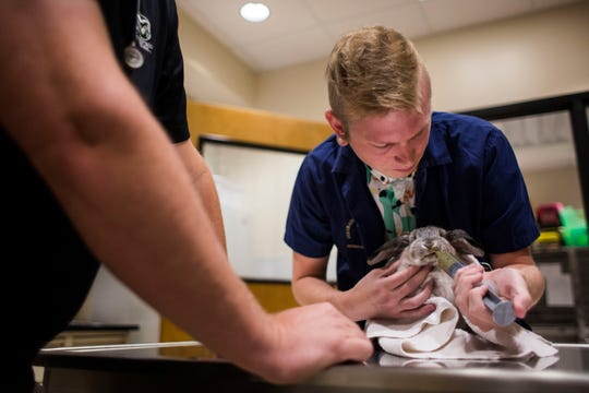 Colorado State University Vet Prep program student Alex McFarland feeds Grey, a holland lop rabbit, with a recovery food on Tuesday, Aug. 7, 2018, at the Colorado State University Veterinary Teaching Hospital in Fort Collins, Colo.