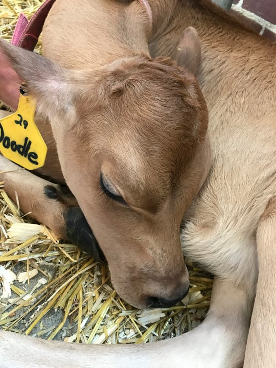 Doodle, a Jersey calf who lives in Sheridan, was born on Independence Day.