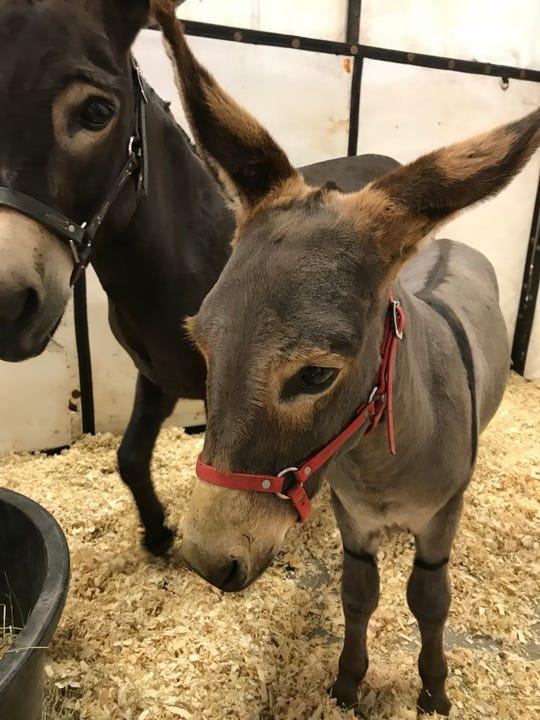 Mom Mia is watchful over her miniature Mediterranean donkey Navarone. The duo lives on Ravenwood Farm in Hartsville.