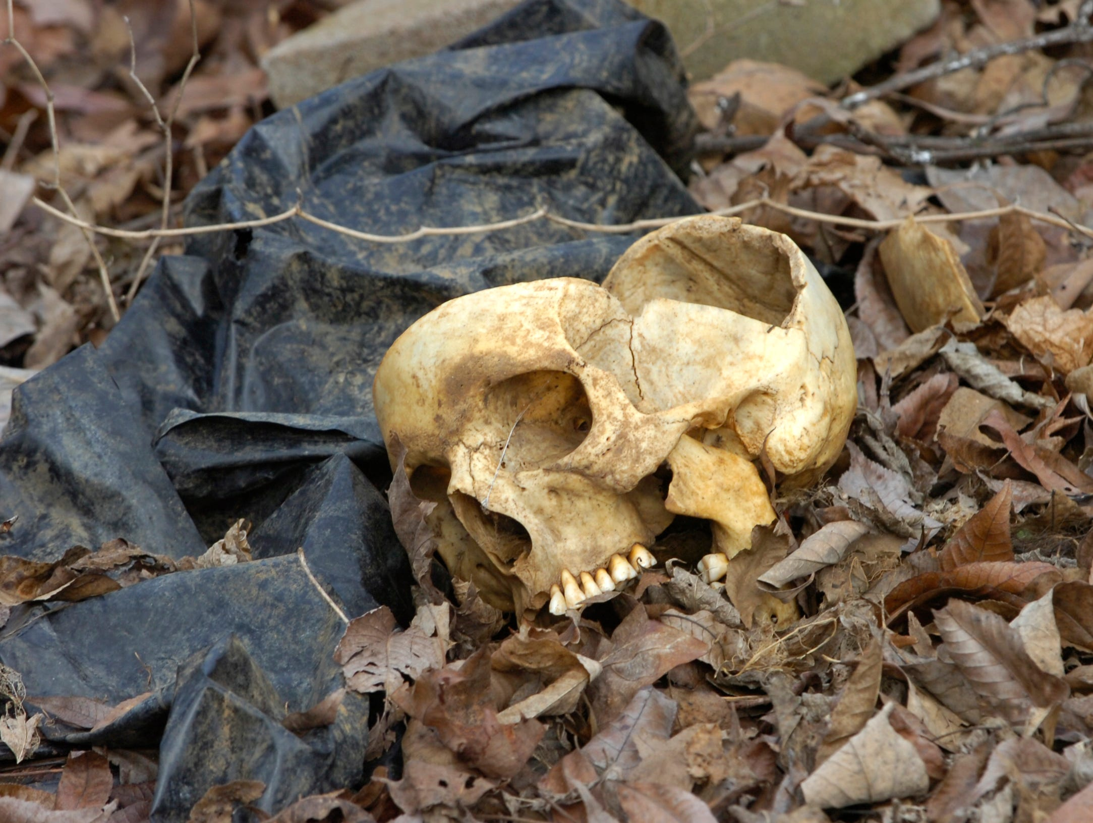 """An exposed human skull lies in the leaves Tuesday inside the Anthropology Research Facility, better known as """"The Body Farm"""" in 2007. With more body donations and an increased amount of research going on at the one-acre facility, the Forensic Anthropolgy Center would like to see an additional 15 acres of land allocated for their research."""