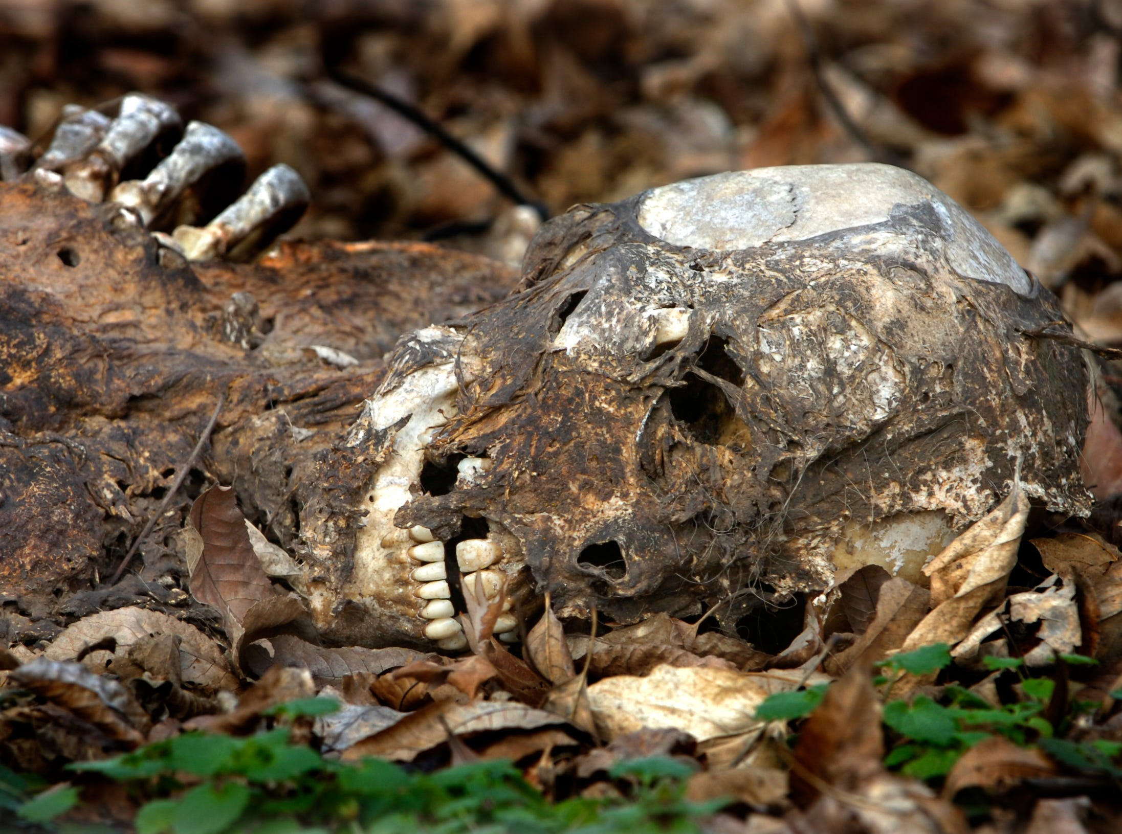 """Human remains lie in various stages of decomposition Tuesday inside the Anthropology Research Facility, better known as """"The Body Farm"""" in 2007. With more body donations and an increased amount of research going on at the one-acre facility, the Forensic Anthropolgy Center would like to see an additional 15 acres of land allocated for their research."""