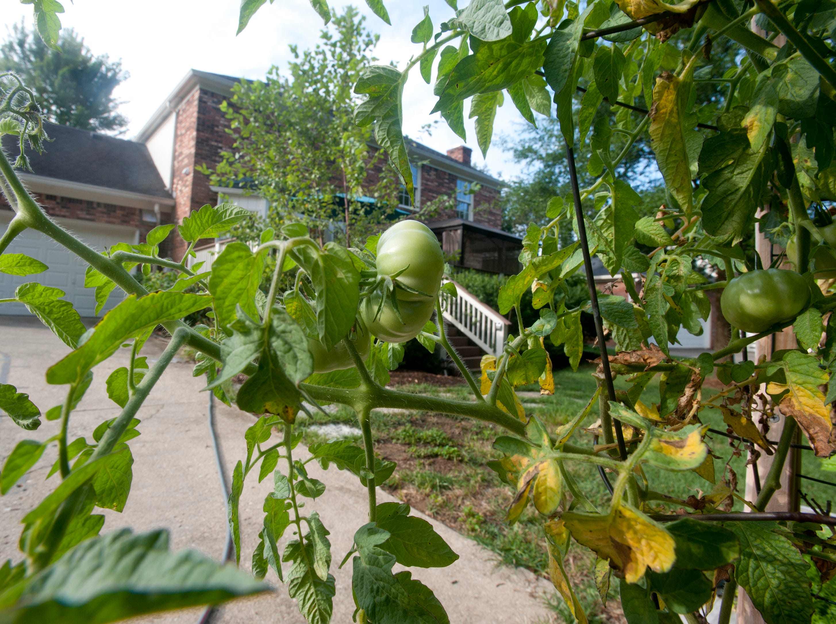 Tomatoes grow in Hodges' box garden at the rear of the house.