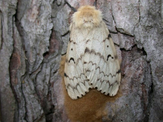 The gypsy moth feeds on more than 300 species of trees.