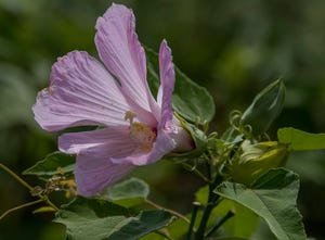 Swamp Hibiscus blooms in Orange Beach, Ala., on Tuesday July 25, 2018.