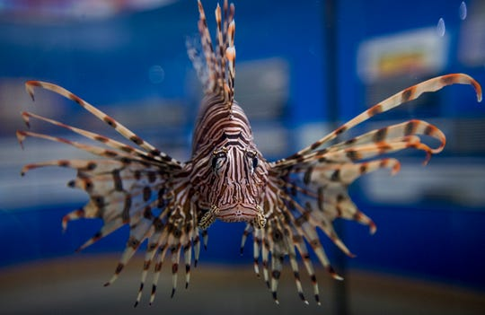 The lionfish, native to the Indo-Pacific, has a unique way of sitting and waiting for prey, which drives down the population of native fish in the Caribbean.