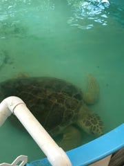 Turtles are rescued and rehabilitated after being injured by boats and other human activities at Georgia Sea Turtle Center.