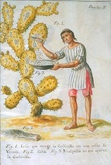 A depiction of a Native American harvesting the parasite