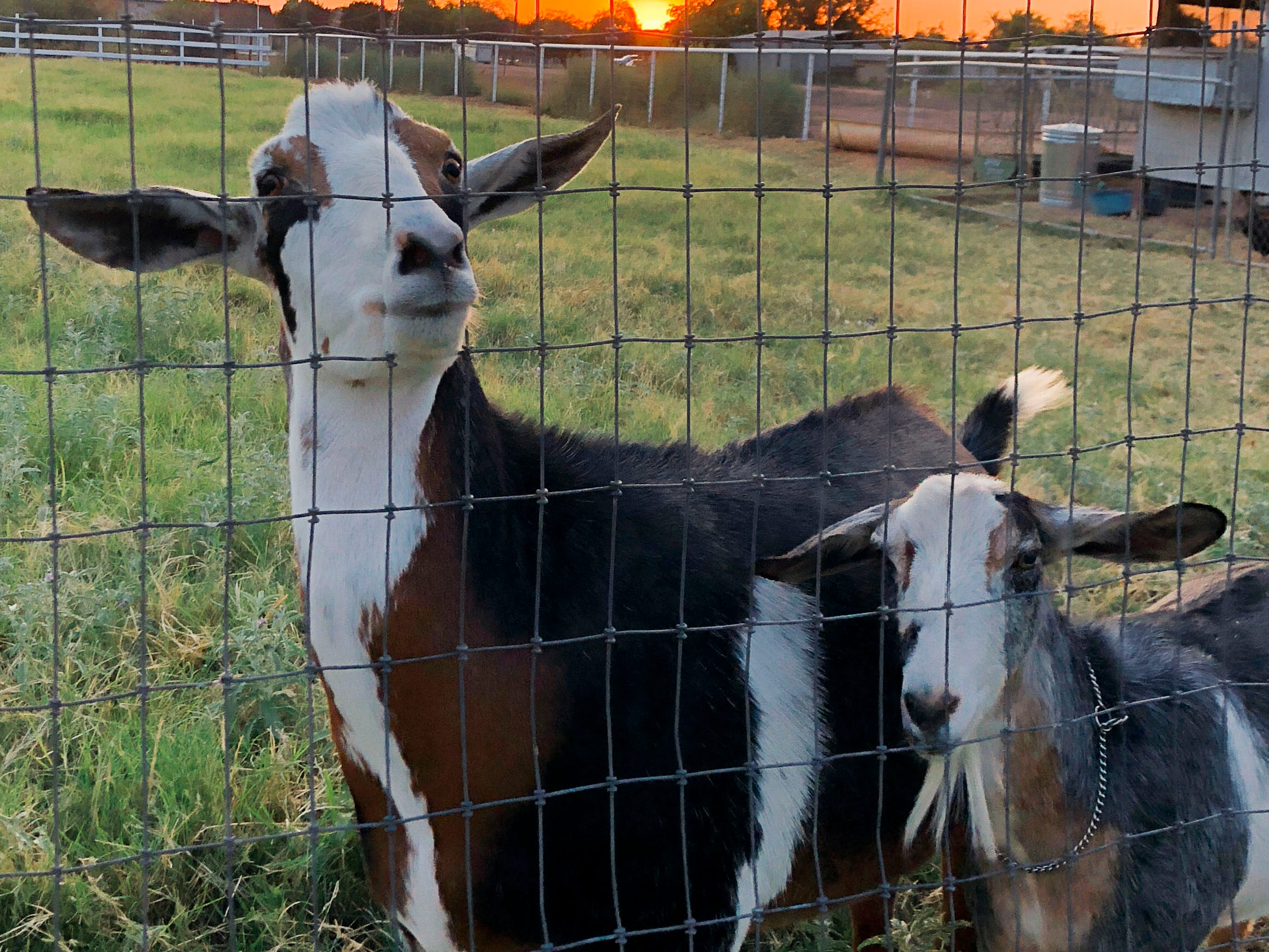 "Friendly and very vocal goats help ""mow"" the pasture."