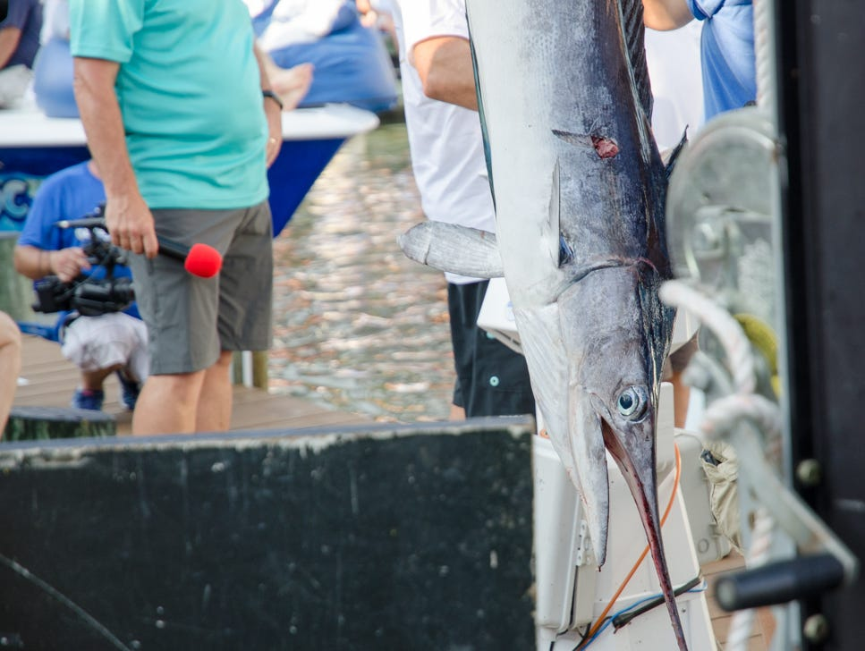 "A 75 pound white marlin was caught by angler Bill Haugland aboard the ""Lights Out"" on Tuesday, August 7, 2018 during the 45th Annual White Marlin Open in Ocean City, Md."