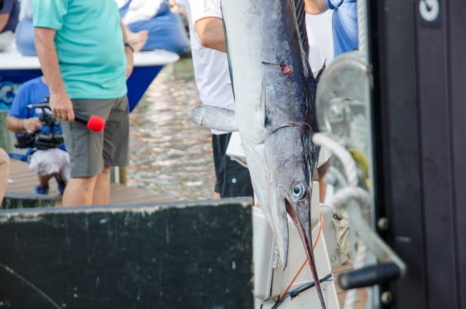 """A 75 pound white marlin was caught by angler Bill Haugland aboard the """"Lights Out"""" on Tuesday, August 7, 2018 during the 45th Annual White Marlin Open in Ocean City, Md."""