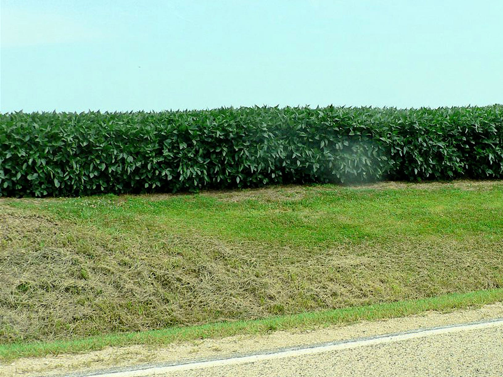 Soybeans are tall and still growing.