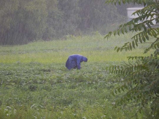 Hazlet farmer Victor Pavia works his field in the pouring rain.