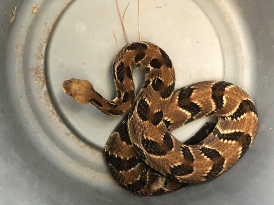 Timberrattlesnake