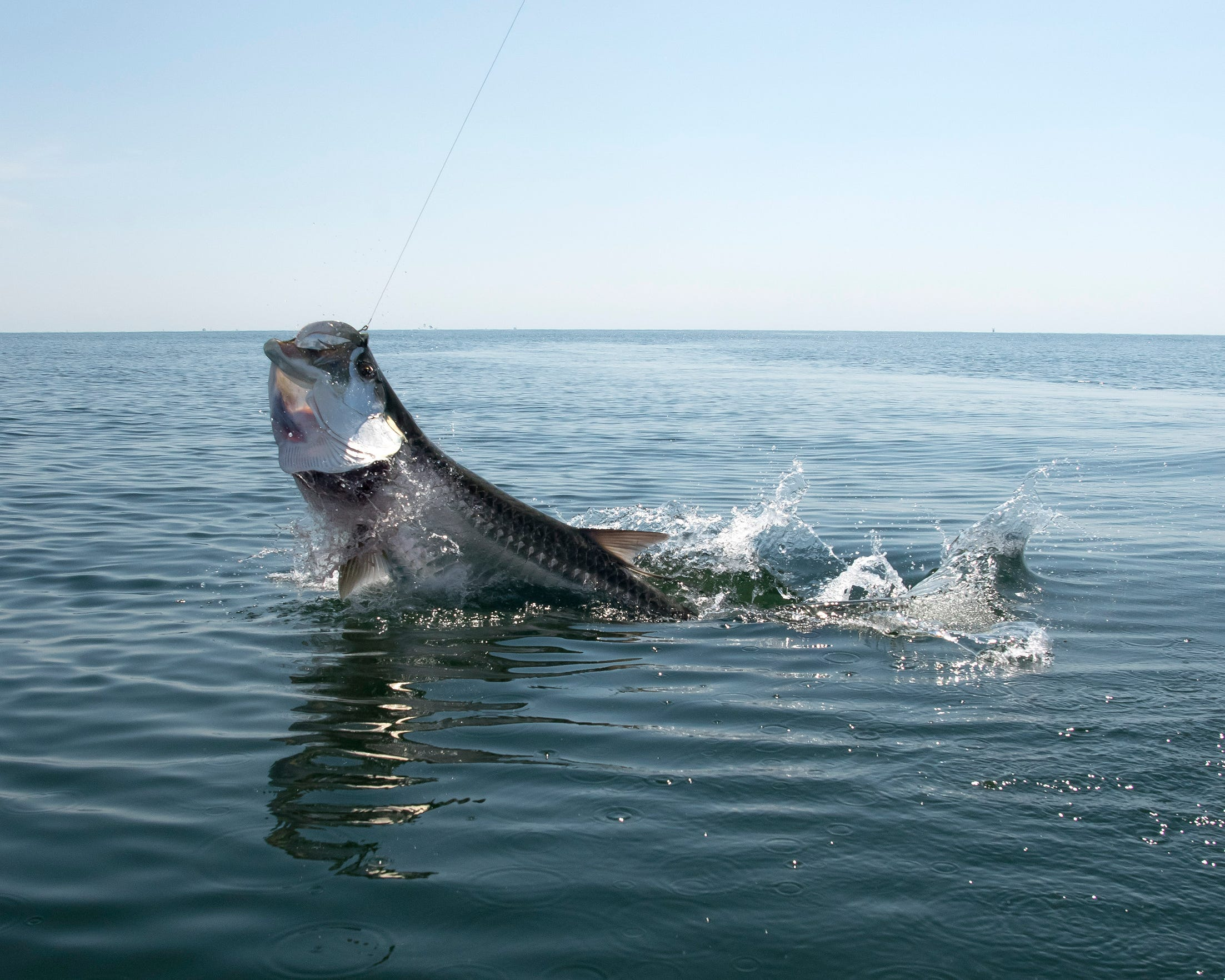 It's not unusual for tarpon that weight more than 100 pounds to be seen along the Texas Gulf coast, but relatively few are caught by anglers.